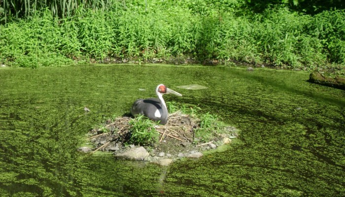 A large bird sits on a mound of rock, dirt and sticks in a pond that is covered in greean algae. Green plants sit behind the pond.