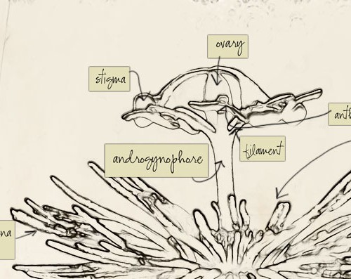 """A line drawing of a fountain of water. Over different parts of the fountain are written the following words: """"ovary"""", """"stigma"""", """"anther"""", """"filament"""", """"androgenophore""""."""