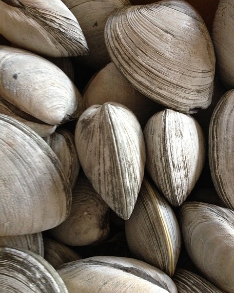 A close up photo of a bunch of clams