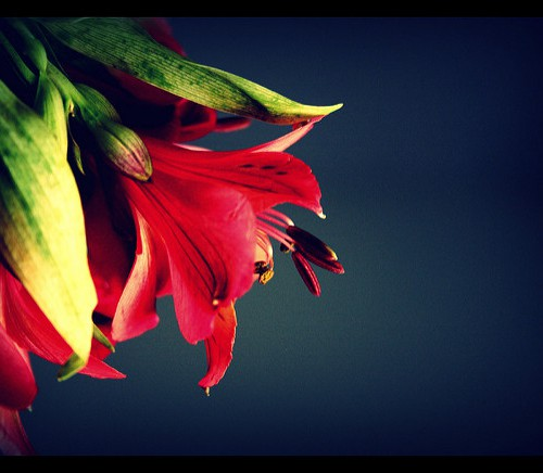 The photo of a red hibiscus flower against a blue background.
