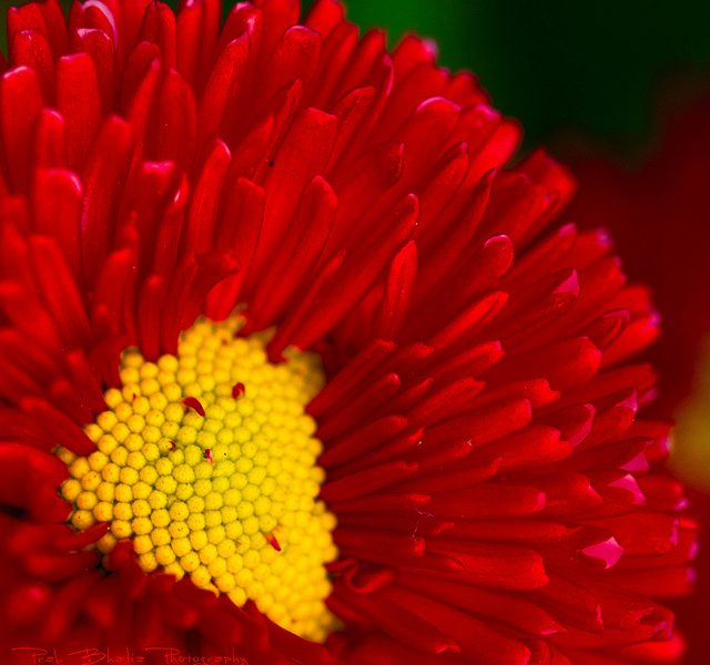 a red flower with a yellow centre