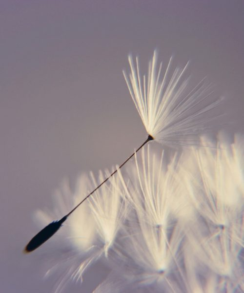 A flower with feathery petals