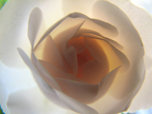 erotica and sexuality: picture of a white rose