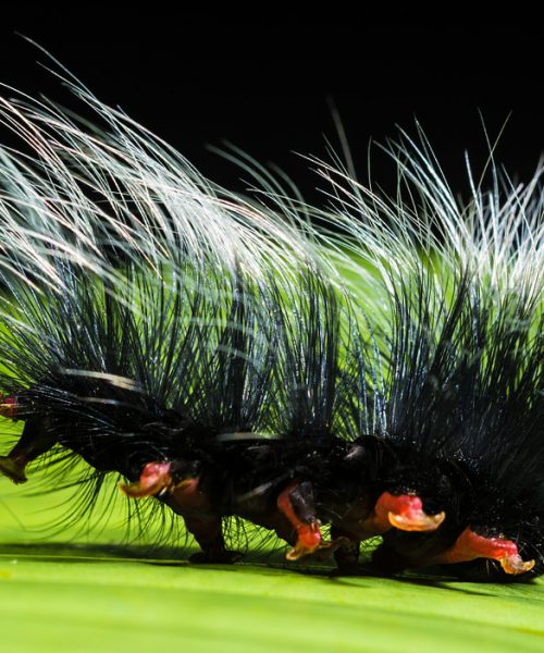 Picture of a hairy catterpillar