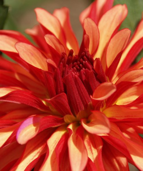 Image of a bright red flower