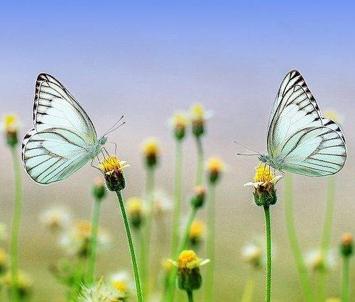 Image of two butterflies on top of flower
