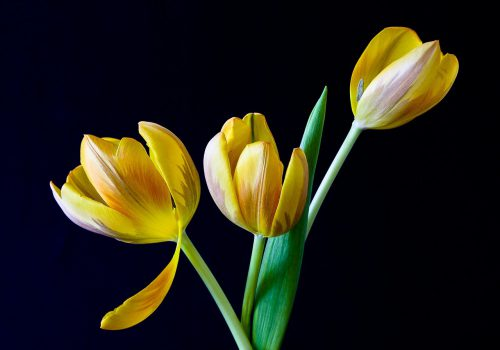 On a black background, yellow tulips are blooming.
