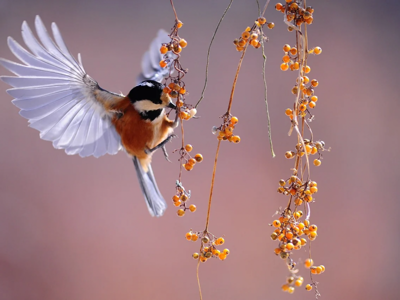 A small bird fluttering around a branch with orange berries, picking at one