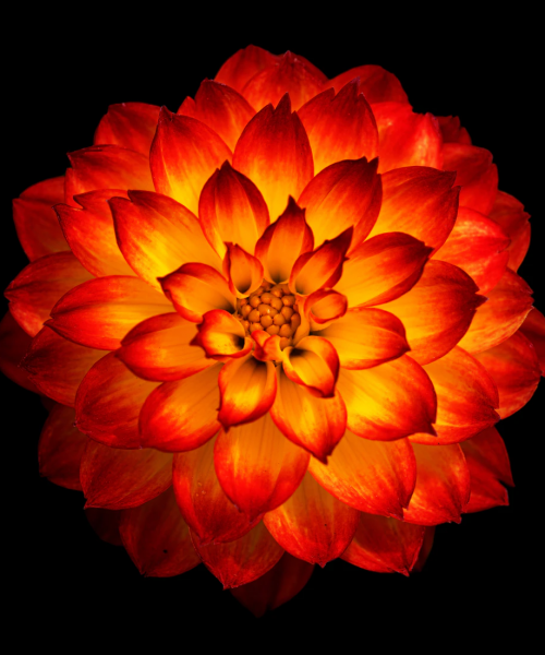 Image of a red and yellow coloured flower on a black background