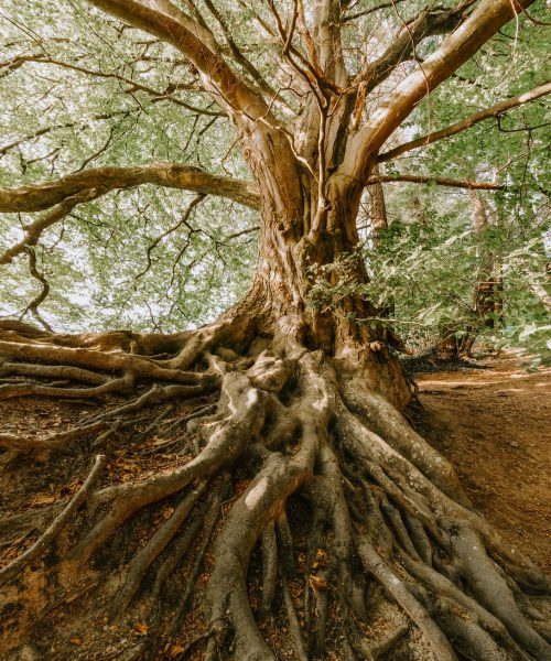 A photograph of an old tree, its roots spread out on the surface, entwined.