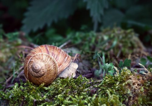 A photograph of a brown coloured snail lying on green grass