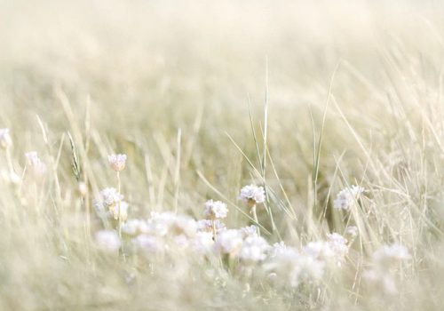 A green-bue gradient photograph of a field of grass and white flowers.